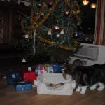 Så er det juleaften og småtassene er 1 uke gamle. Sees her sammen med deres pappa SGC+IC Guri Malla's Drage.