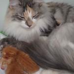 Mammakatt Skaujenta's Bella Perle med de nye killinger, 1 dag gamle.