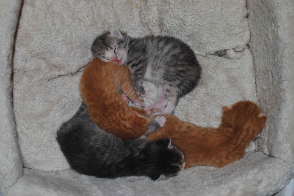 Da er de 2 uker gamle. De har nå alle fått åpnet øynene, men blir fortsatt helst i den myke sengekurven hvor det er sikkert og trygt..