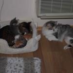 """4 uker gamle, og mamma begynner å bli litt sliten og vil gjerne ha en liten pause inn i mellom. Da er det fint å ha en snill """"Stefar"""" i form av en stor og sterk Savannah-katt som kan gi trygghet i sengen når mamma holder pause."""